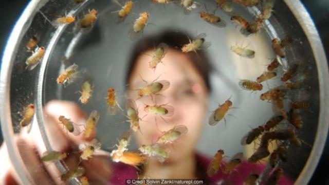 每天数果蝇是件单调枯燥的事,但这项工作能够取得有意义的发现成果